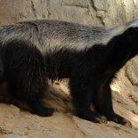 Какое млекопитающее самое свирепое в мире ?