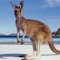 Интересные факты про Кенгуру (Kangaroo)