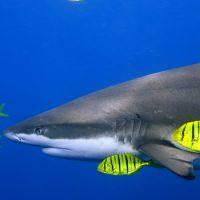 Китовая акула питается планктоном