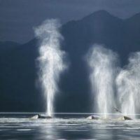 Киты выпускают фонтан воды