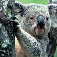 Интересные факты про Коалу (Koala)
