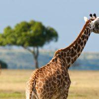 Кости шеи. У кого их больше — у мыши или жирафа?