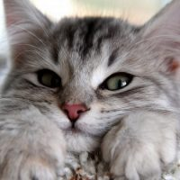 Кто изобрел «кошачью форточку» ?