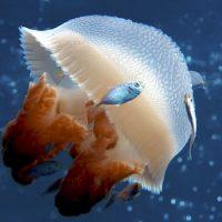 Интересные факты про Кубомедузу (Box Jellyfish)