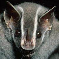 Интересные факты про Летучую мышь (Bat)