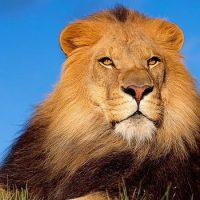 Интересные факты про Льва (Lion)