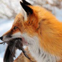 Интересные факты про Лису (Fox)