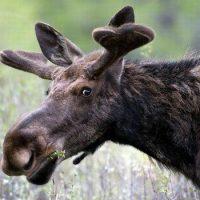 Интересные факты про Лося (Moose)