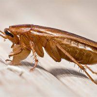 Любимая пища тараканов — хлебные крошки