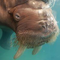 Интересные факты про Моржа (Walrus)