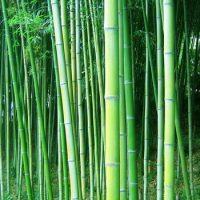 Можете ли вы назвать животное, которое ест только бамбук ?