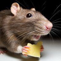 Интересные факты про Мышь (Mouse)