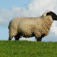 Интересные факты про Овец (Sheep)