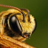 Интересные факты про Пчел (Вее)