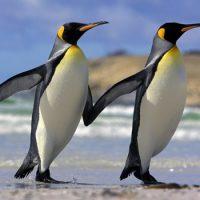 Интересные факты про Пингвина (Penguin)