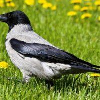 Почему ворона считается вредной птицей ?