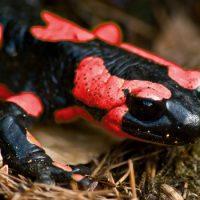 Интересные факты про Саламандру (Salamander)