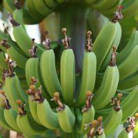 Сколько бананов растет на пальме ?