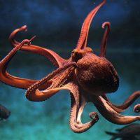 Сколько ног у осьминога ?