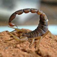 Интересные факты про Скорпиона (Scorpion)