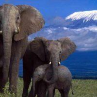Слон — спокойное животное