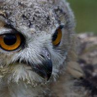 Интересные факты про Сову (Owl)