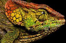 Цвет хамелеона меняется мгновенно для маскировки