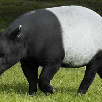 Интересные факты про Тапира (Tapir)