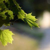 У деревьев только зеленые листья
