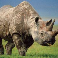 У носорога есть рога