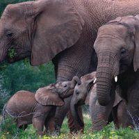 У слонов есть секретное кладбище
