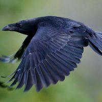 Вороны живут по триста лет
