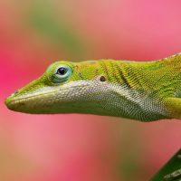 Интересные факты о Ящерицах (Lizard)