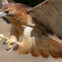 Ястреб — самая быстрая птица