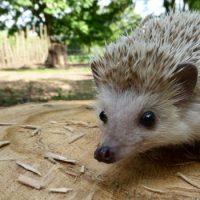 Интересные факты про Ежа (Hedgehog)