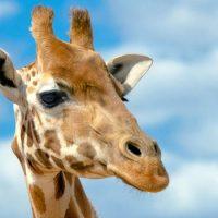 Интересные факты про Жирафа (Giraffe)