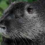 За что нутрию обозвали крысой ?