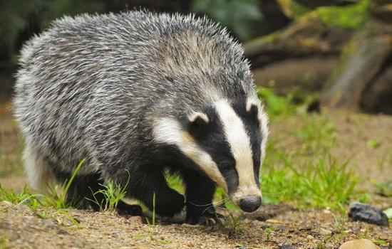 Интересные факты про Барсука (Badger)