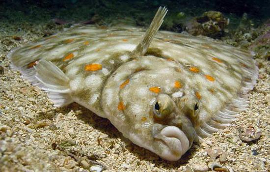 Чем примечательна рыба камбала ?