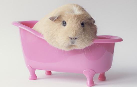 Что общего у морской свинки с морем и свиньями ?