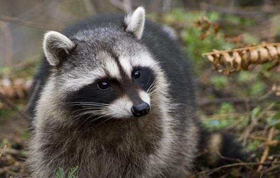 Интересные факты про Енота (Raccoon)