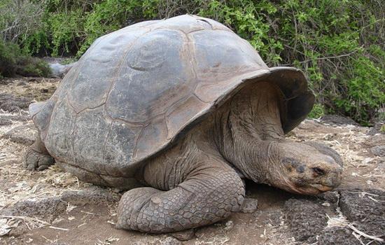 Интересные факты про Гигантскую черепаху (Giant Tortoise)