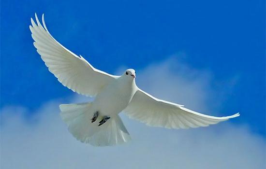 Голубь — птица мира