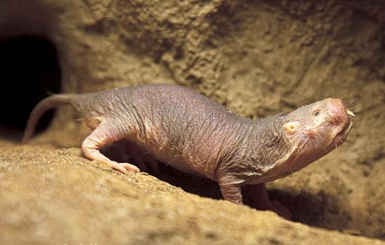 Интересные факты про Голыго землекопа (Naked Mole Rat)