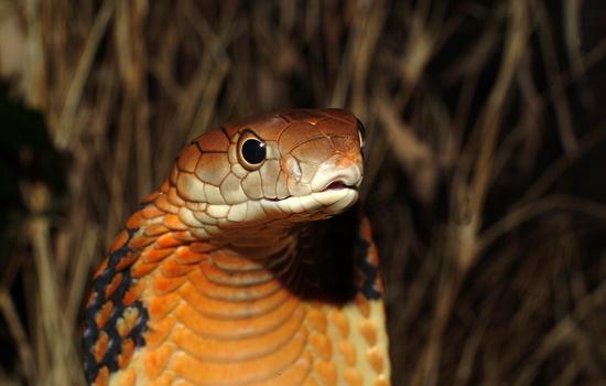 Гремучая змея трещит хвостом, готовясь нападать
