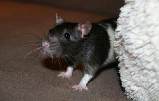 Как далеко от вас ближайшая крыса ?