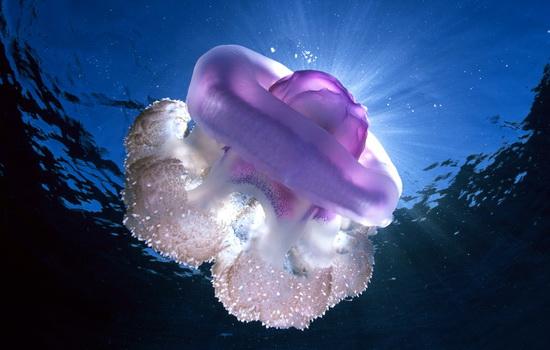 Как размножаются медузы
