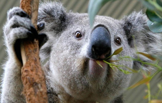 Коала — австралийский медведь