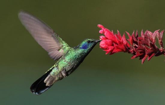 Интересные факты про Колибри (Hummingbird)