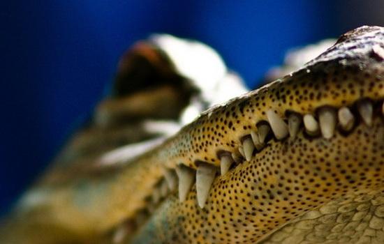 Крокодилы плотоядны и живут в воде